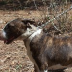 Female Bull Terrier For Sale
