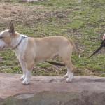 Male Bull Terriers