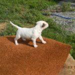 Bull Terrier Puppies in Alabama