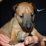 Bull Terrier Puppy from Alabama