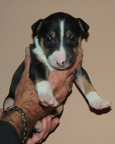 Bull Terriers For Adoption in Alabama
