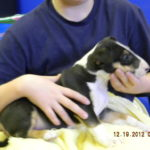Adopt Bull Terrier Puppies in Alabama